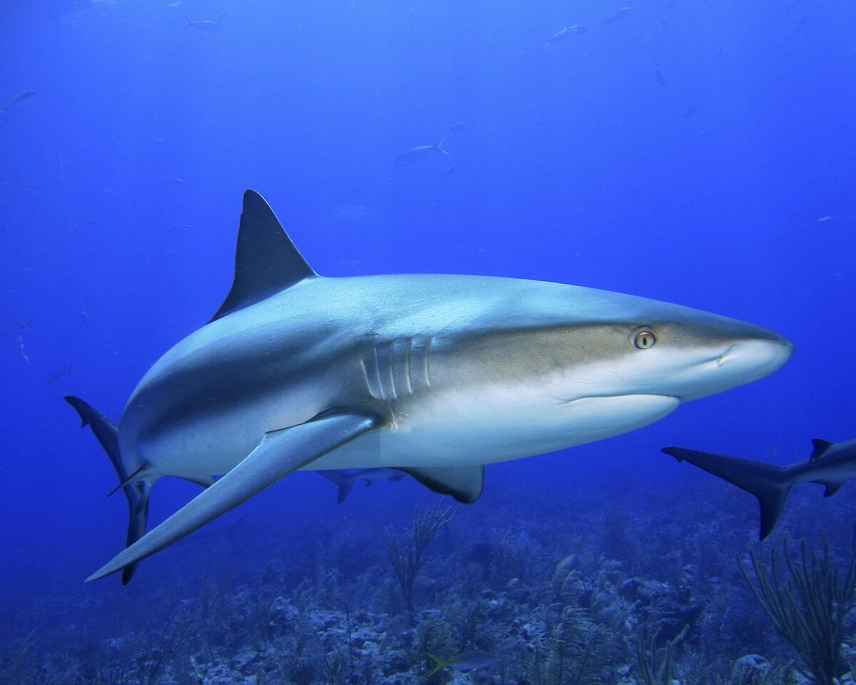 Cuba scuba diving and reef shark