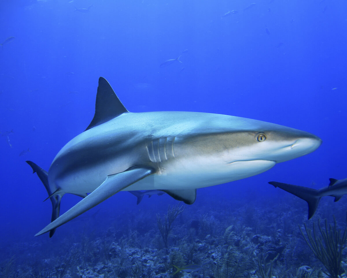Cuba scuba diving and reef shark