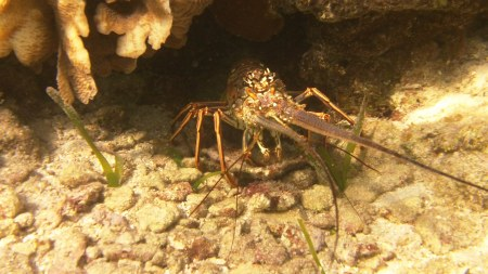 We saw lobster while scuba diving and snorkeling on Roatan