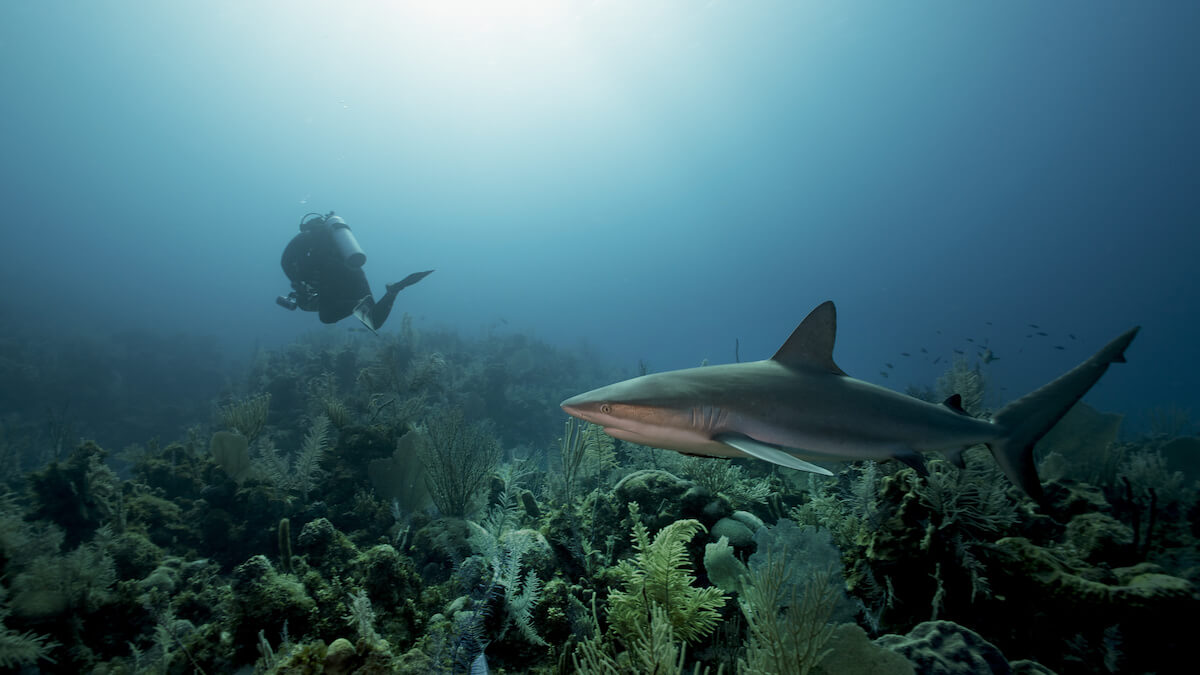 Cuba scuba diving with shark