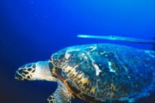 bonaire scuba - turtles