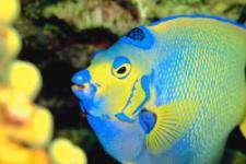 bonaire scuba - queen angel fish