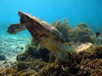 diving in bonaire - turtle