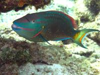 diving in bonaire - parrotfish