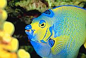 Queen Angelfish while scuba diving in Jost Van Dyke, BVI