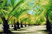 Pictures of palm trees lining a sand road