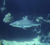 scuba diving in belize shark
