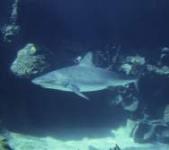 scuba diving in belize shark