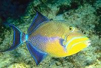 scuba diving in belize caye caulker - queen anglefish