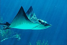 scuba diving in belize caye caulker - eagle ray