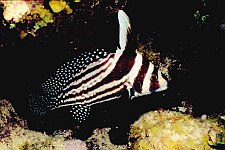 scuba diving in belize caye caulker - drumfish