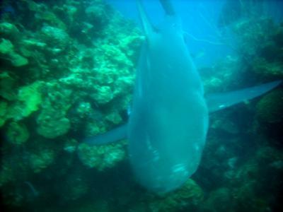 Shark Feeding in Belize