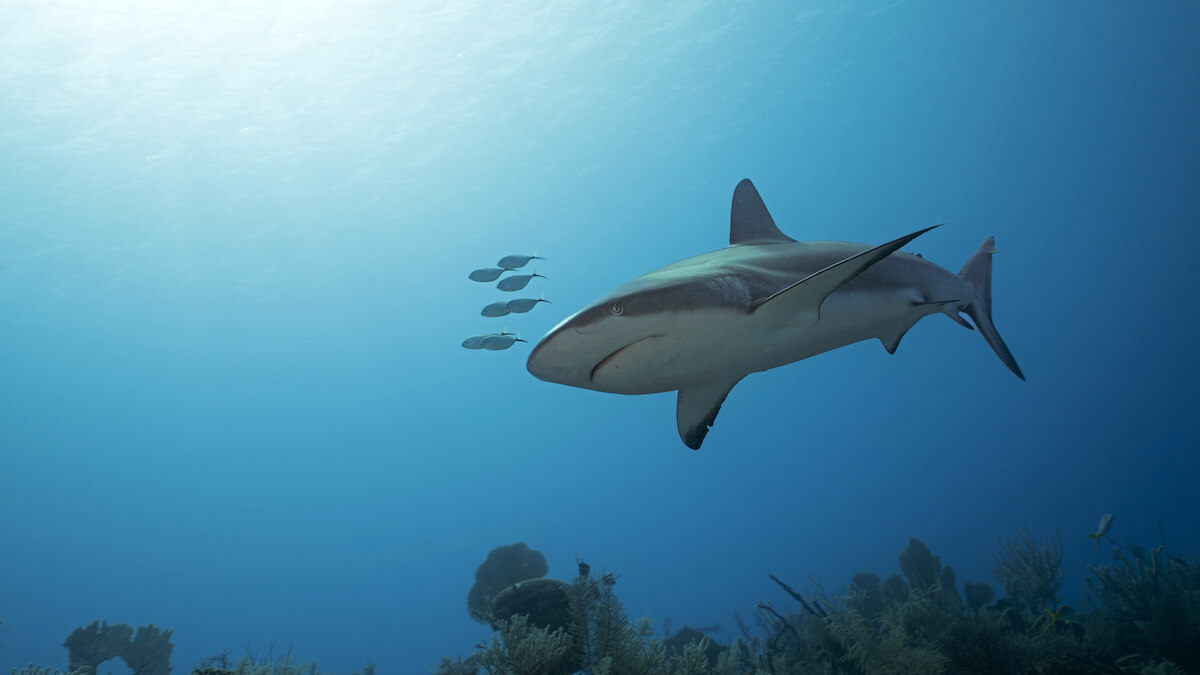 Cuba scuba diving with shark