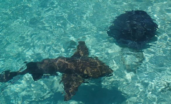 Bahamas scuba diving - a shark and a ray