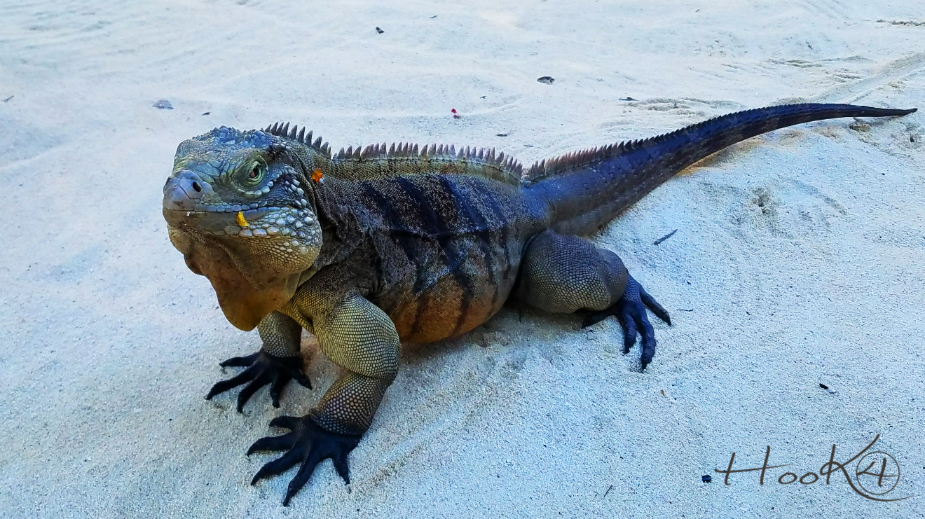 Little Cayman Iguana