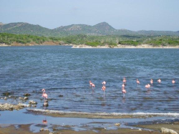 Pink flamingos on Bonaire