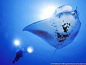 Scuba diving wallpaper; picture of diver with a manta ra